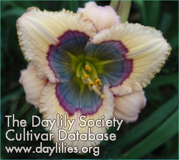 Daylily Photo - Blue Desire