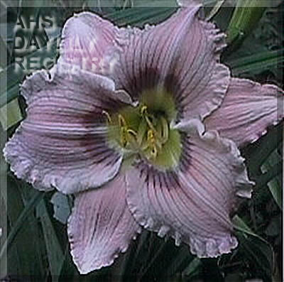 Daylily 	  'Blue Eyed Soul Mate' 	  (Coppinger, 2004)