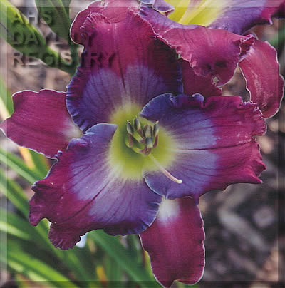 Daylily Photo - Bluegrass Memories