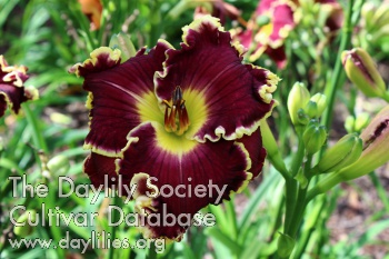 Daylily Photo - Bold Raven