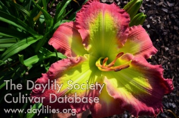 Daylily Photo - Bold Approval