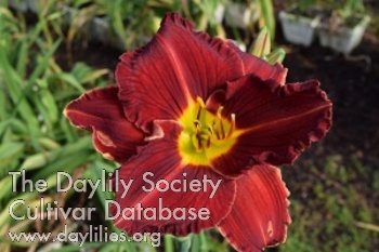 Daylily Photo - Booger Bottom Blessing