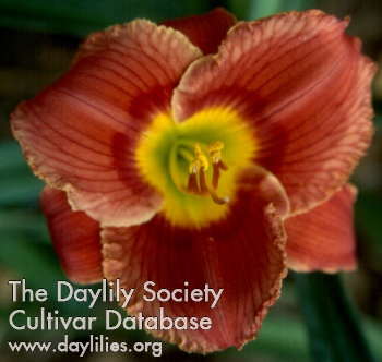 Daylily Photo - Bordering on Weird