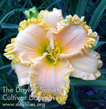 Daylily Photo - Born On The Bayou
