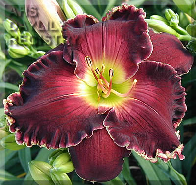 Daylily Photo - Born To Reign