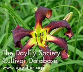 Daylily Photo - Brer Rabbit's Baby