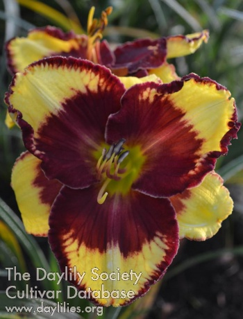 Daylily Photo - Bright Blaze of Magic