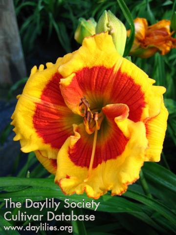 Daylily Photo - Brookwood Lee Causey