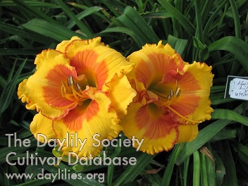 Daylily Photo - Buddy's Abilene