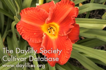 Daylily Photo - Burning Inheritance