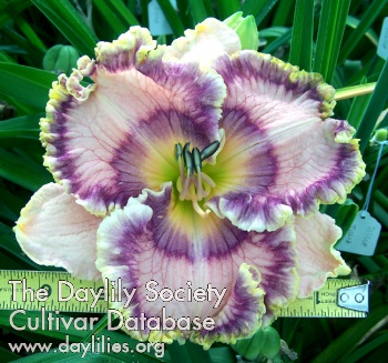 Daylily Photo - Busy Being Blue