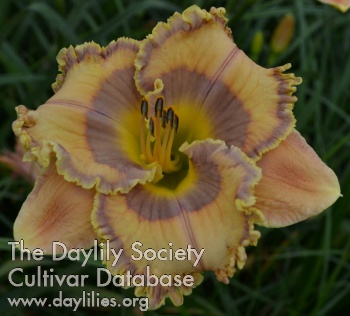 Daylily Photo - Balanced on the Blade's Edge
