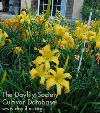 Daylily Photo - Banana Breeze