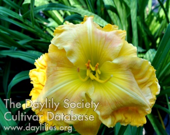 Daylily Photo - Banana Pancakes
