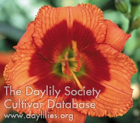 Daylily Photo - Bat Masterson