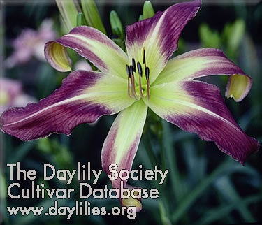 Daylily Photo - Blue-Eyed Curls