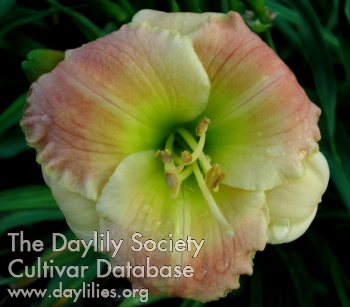 Daylily Photo - Broadway Legend