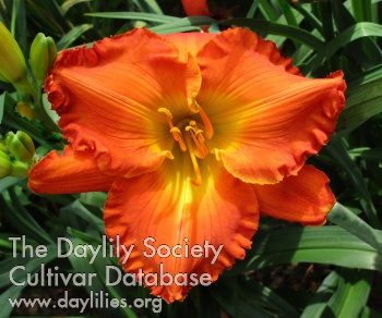 Daylily Photo - Burnt Hickory