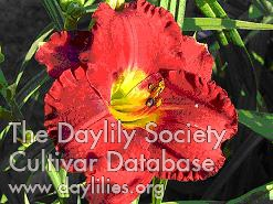 Daylily Photo - Christmas Wishes