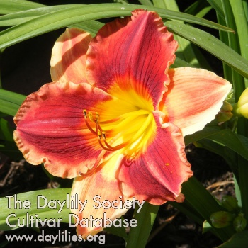 Daylily Photo - Calgary Stampede