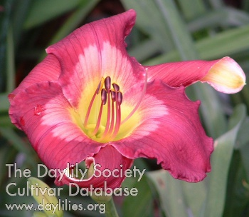 Daylily Photo - Cameroons