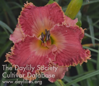 Daylily Photo - Candy Queen
