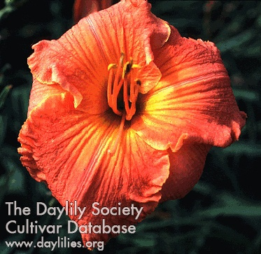 Daylily Photo - Cause For Pause