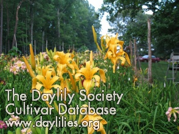 Daylily Photo - Celebrating Gold