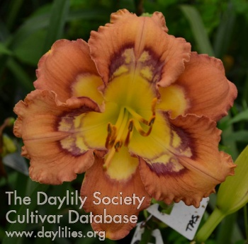 Daylily Photo - Chaos Choreography