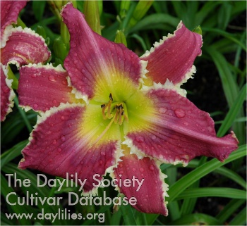 Daylily Photo - Character Counts