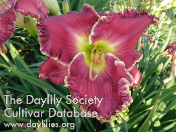Daylily Photo - Chariot Of Clouds
