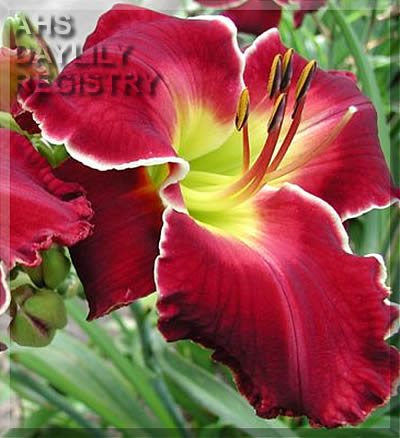 Daylily Photo - Cherokee Beauty