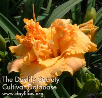 Daylily Photo - Clark Gable