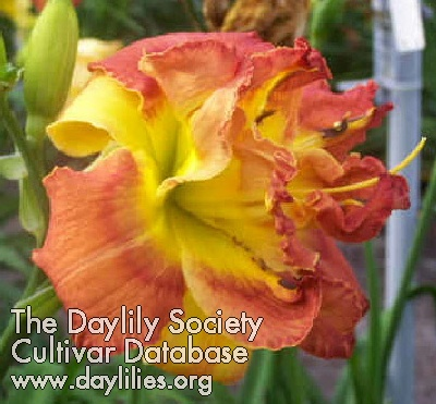Daylily Photo - Clearly A Thrill