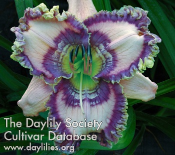Daylily Photo - Cobalt Rings