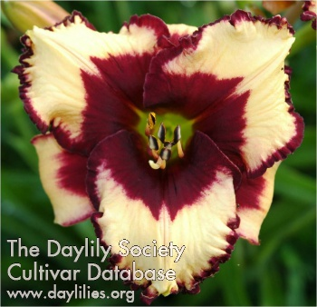 Daylily Photo - Cockeyed Optimist
