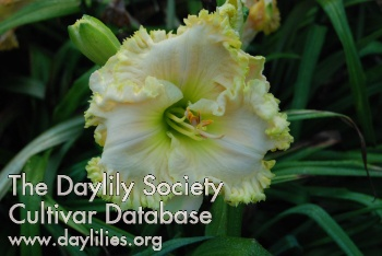 Daylily Photo - Coconut Grove