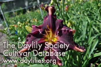 Daylily Photo - Coit Tower