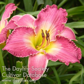 Daylily Photo - Collectors Choice
