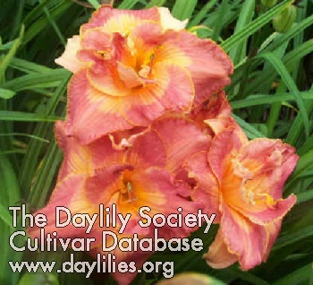 Daylily Photo - Color Of Innocence