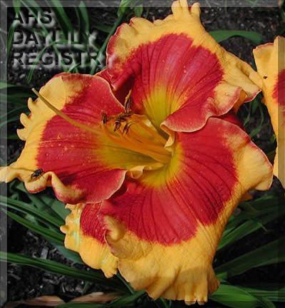 Daylily Photo - Connie Can't Have It