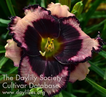 Daylily Photo - Corsican Night