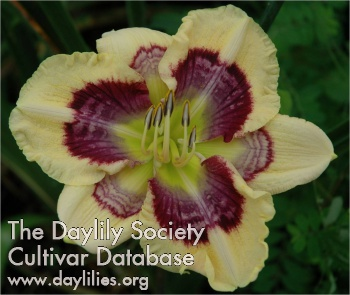 Daylily Photo - Cosmic Aftershock