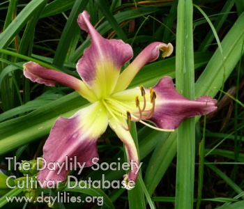 Daylily Photo - Course Of Action