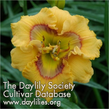 Daylily Photo - Curious Cutie