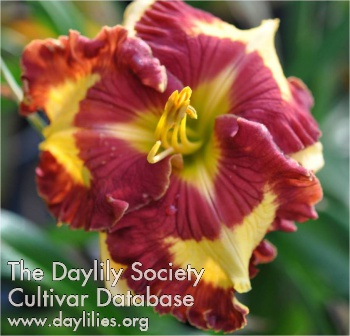 Daylily Photo - Can'T Touch This