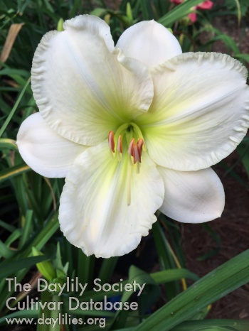 Daylily Photo - Conway Snow