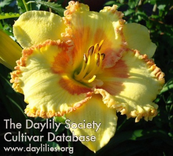 Daylily Photo - Daddy's Heart
