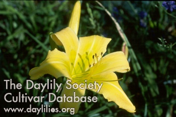 Daylily Photo - Dancing Lions