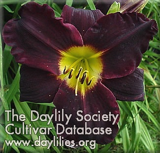 Daylily Photo - Dark Storm